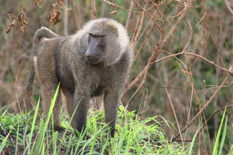 Versus: Baboon and Wolf