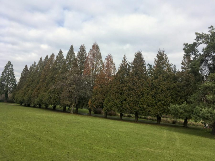 A row of Western redcedars, showing signs of ill health, on the 11th hole at Eastmoreland Golf Course.