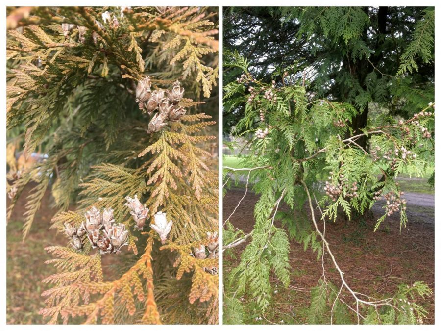 A comparison of the foliage between a healthy and an unhealthy Western redcedar.